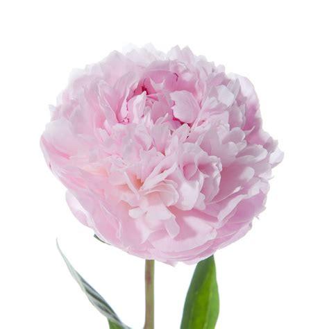 flowers in light light pink peonies peonies types of flowers flower muse