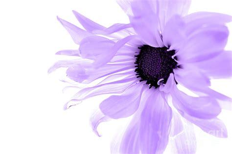 Anting Flower Petals Violet Soft Purple related keywords suggestions for purpleflower