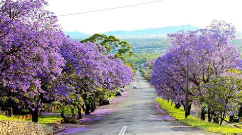jacaranda season   heres     travel