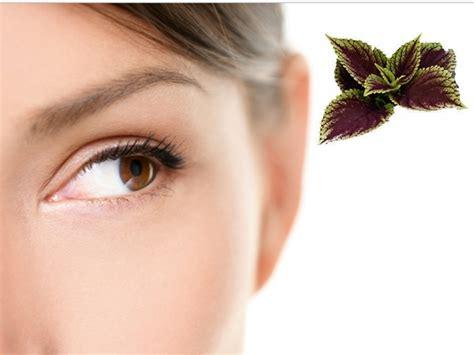 Tanaman Obat Untuk Mata khasiat daun tanaman iler sebagai obat tradisional