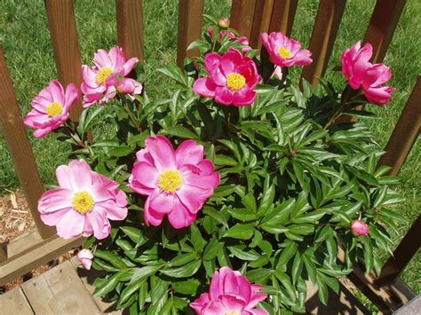 fiore peonia fiore peonia peonie fiore peonia giardino