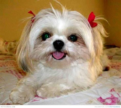 caring for your shih tzu puppy petyourdog pet your pretty white shih tzu puppy