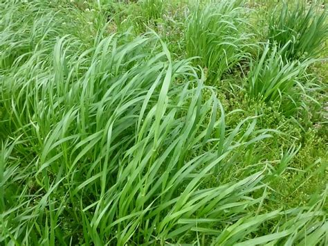top 28 annual grass annual ryegrass vs perennial ryegrass images bulkseed co za annual rye
