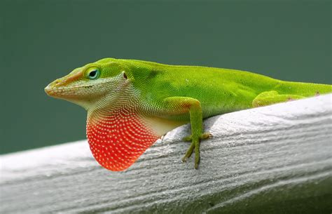 symbolic meaning   green anole lizard male