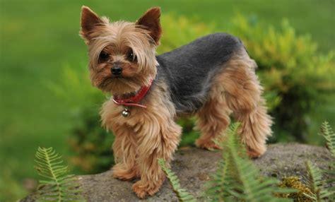 imagenes de animales pequeños razas de perros peque 241 os yorkshire terrier