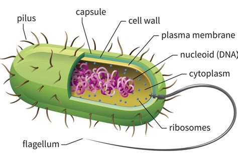 bacterial cell diagram learn about prokaryotic cells