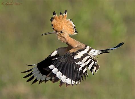 hoopoe hupu upupa epops   colourful bird
