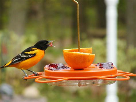birds choice 12 ounce oriole fest oriole bird feeder