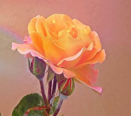 imagenes de rosas descargar gratis imagenes de rosas hermosas para descargar gratis rosas