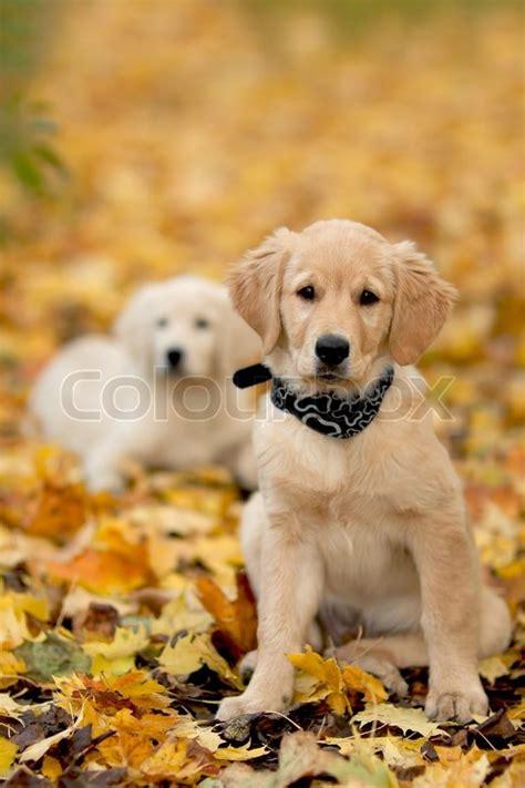 golden retriever rescue canada canada goose rescue golden retriever puppies