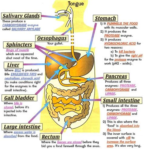 7 Tips To A Healthy Digestive System by Best 25 Human Digestive System Ideas On