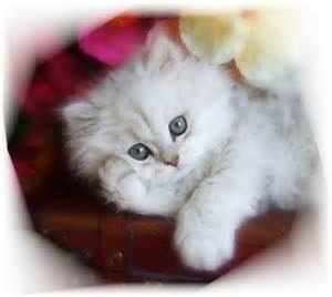 Pix ragdoll cats for sale baby doll cat breed himalayan cat ragdoll