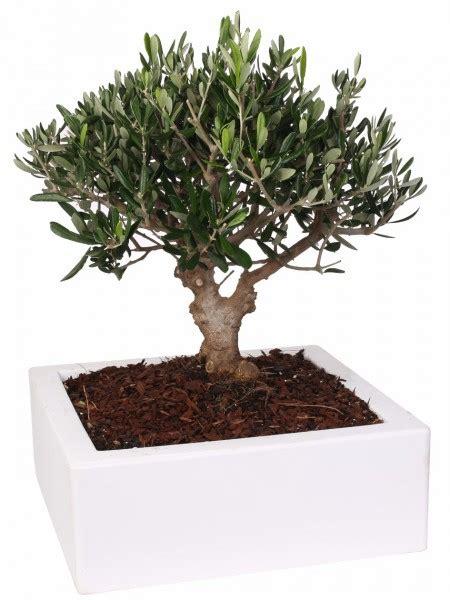 piante bonsai da interno piante tropicali da interno ed esterno paganopiante