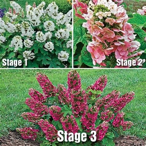 oakleaf hydrangea ruby slippers ruby slippers oakleaf hydrangea garden ideas