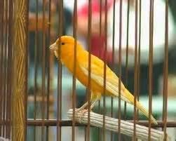 Mengatasi Masalah Penangkaran Kenari H972 penyebab dan cara mengatasi burung kenari betina sulit