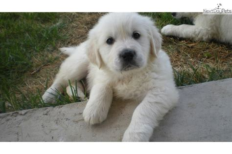 denver golden retriever puppies akc golden retriever puppy white golden retriever labrador