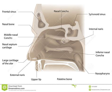 nose cross section nose anatomy stock illustration image of section cross