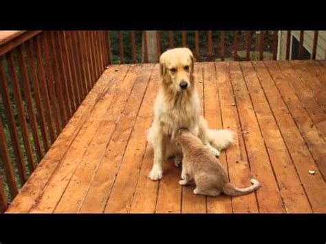 cat and golden retriever golden retriever and cat friends part 3 of 3
