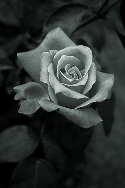 一支玫瑰花灰色手机壁纸 第2页 图片素材