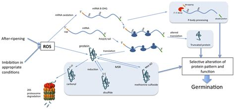 protein oxidation frontiers of protein and mrna oxidation in seed