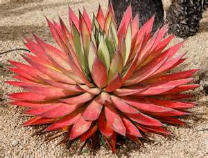 25 best ideas about agave plant on pinterest agaves agave attenuata and desert plants