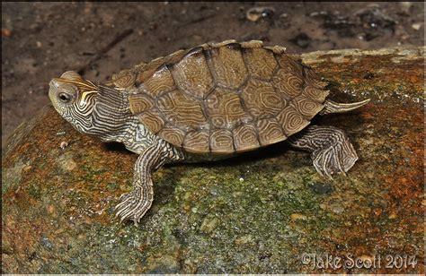 lade per tartarughe d acqua l acqua terrario per le tartarughe d acqua dolce