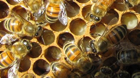 Bumble Bee Jelly honey bee royal jelly benefits benefits of royal jelly supplements
