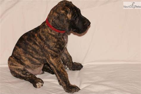 great dane puppies ma great dane puppy for sale near boston massachusetts 3db82521 19e1