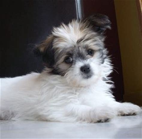 small dogs like shih tzu chihuahua shih tzu hybrid dogs i don t like small dogs but this is just