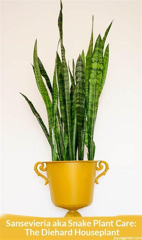 snake plant   care   diehard houseplant