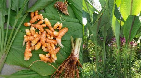 tanaman apotik hidup  manfaatnya part