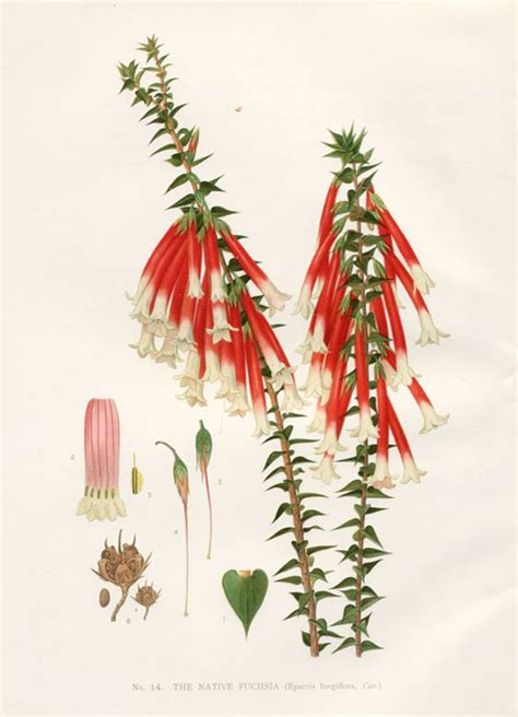 Superior Christmas Information #4: Epacris-longiflora.jpg