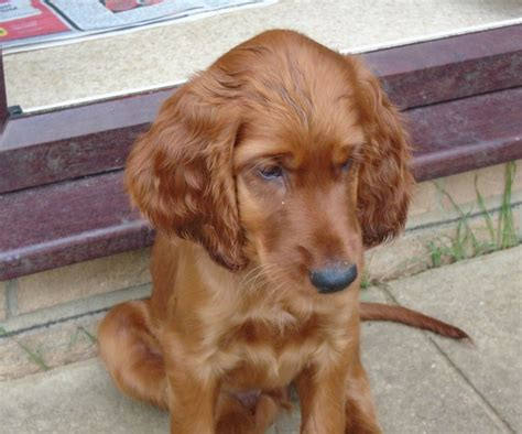 setter dogs for sale irish red setters puppy for sale arundel west sussex