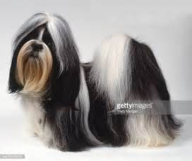 shih tzu soft shih tzu stock photos and pictures getty images