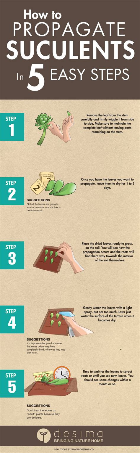 How To Successfully Propagate Succulents In 5 Easy Steps - how to propagate succulents in 5 easy step propagate