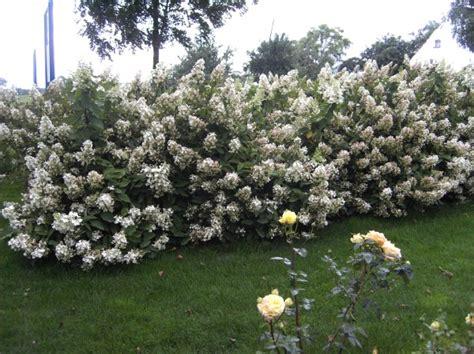 hortensie schneiden wann hortensien schneiden wann hortensien bauernhortensien