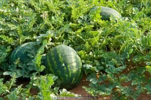 Watermelon Trellis Watermelon Plants And Fruits Picture Watermelon