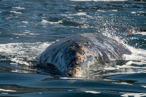 oregon coast whale watching whale s tail charters oregon