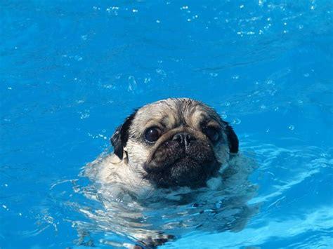 can pugs swim 1000 images about god s weirdos on a pug pug and brindle pug