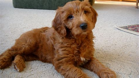 apricot golden retriever about goldendoodles aussiedoodle and labradoodle puppies best labradoodle breeders