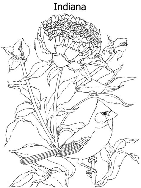 indiana coloring page indiana state flower coloring coloring pages