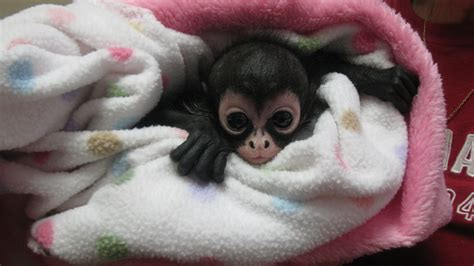 blog pet of the week alley the spider monkey care animal hospital