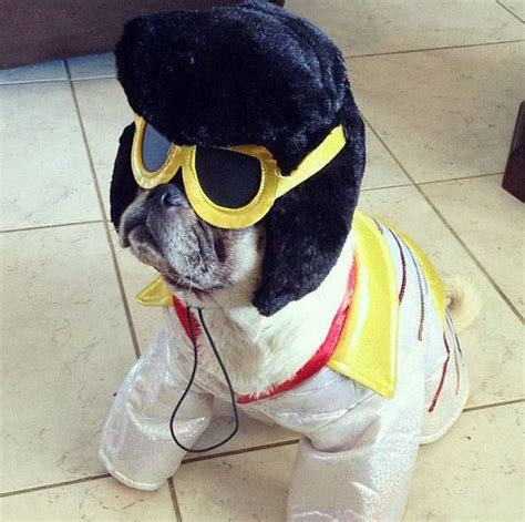 pug costume ideas 17 best images about pug costumes on what s the banana costume