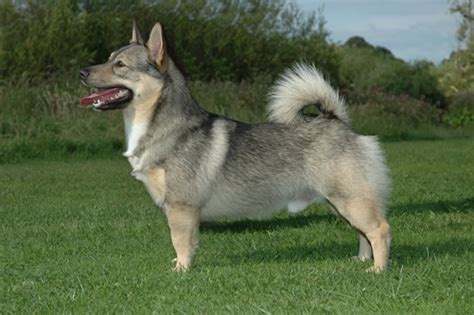 Convert Your Dead Toaster Mac Into A Macpack by Swedish Vallhund 11 Unique Breeds You Ll Find