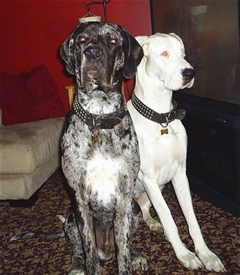 great dane pitbull mix puppies for sale great dane pitbull mix puppies image search results