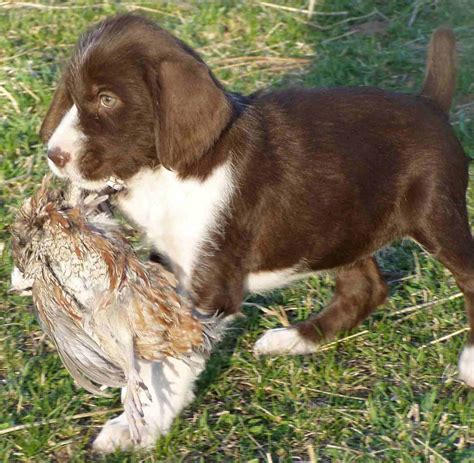 german wirehaired pointer puppies german wirehaired pointer breed information puppies pictures