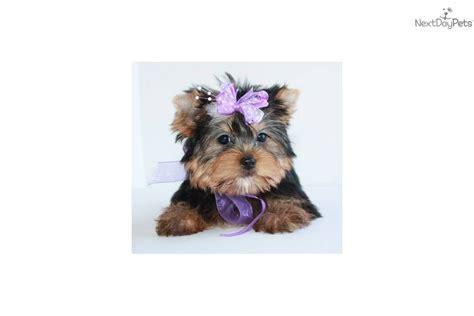 free yorkie puppies in missouri terrier yorkie puppy for sale near springfield missouri fda903e6 4671