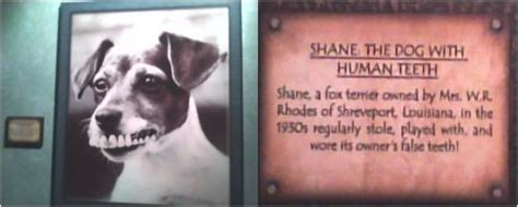 dogs with human teeth shane the with human teeth redgage
