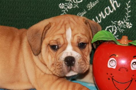 beabull puppies for sale in indiana home of beabull puppies for sale in indiana