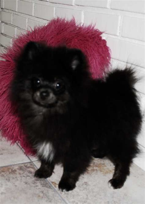 pomeranians for sale in michigan pomeranians for sale ads free classifieds